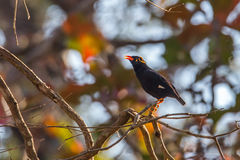 Hill myna calling Stock Photo