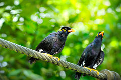 Hill Myna Royalty Free Stock Photos