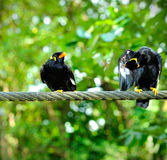 Hill Myna Royalty Free Stock Images