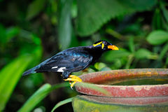 Hill Myna Stock Image