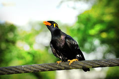 Hill Myna Stock Photography