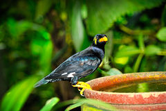 Hill Myna Royalty Free Stock Image