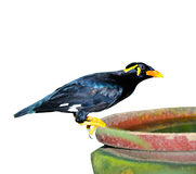 Hill Myna. Close up of Hill Myna (Gracula religious)  on white background, selective focus Stock Images