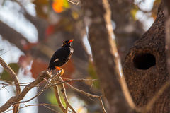 Hill myna in forest Royalty Free Stock Photography