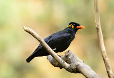 Hill Myna (Gracula religiosa) Royalty Free Stock Photography