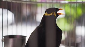 Hill Myna Gracula Religiosa Talking Bird in a Cage stock footage