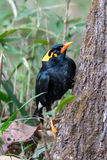 Hill myna Stock Photos