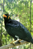 Hill Myna Stock Photo