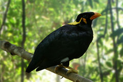 Hill Myna Royalty Free Stock Photo