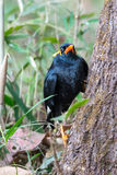 Hill myna on a tree Stock Image