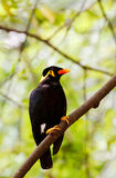 A hill mynah Royalty Free Stock Photos