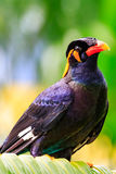 Hill Mynah Royalty Free Stock Images