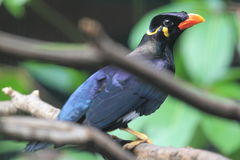 Hill mynah Stock Images