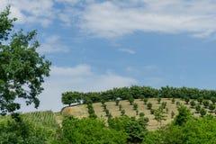 Field of hazelnuts in Roero, Piedmont - Italy. Hill near Monticello d`Alba with hazelnut field in Roero, Piedmont - Italy Royalty Free Stock Image