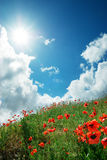 Hill Of Poppies Royalty Free Stock Images