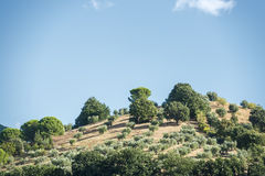 Hill with olive trees royalty free stock photography