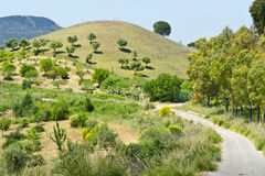 Hill with Olive Trees Royalty Free Stock Images