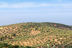 Hill with olives trees Royalty Free Stock Photo
