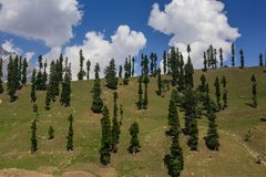 Hill with Pine trees Royalty Free Stock Images
