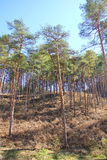 Hill with pine trees in the spring Stock Photo
