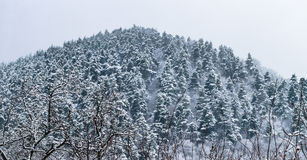 Hill with pine trees winter Stock Photography