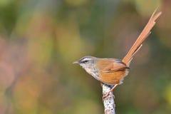 Hill Prinia bird Royalty Free Stock Photography