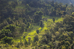 Hill with rice terraces and trees Stock Photo