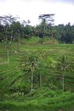 Hill ricefields in Bali Royalty Free Stock Photos
