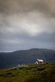 Hill sheep near the cloudline. In overcast weather Stock Image