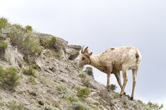 Hill Side. Female Big Horn Sheep eating on a hill side Stock Photo