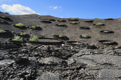 Plants on volcanic hill at Timanfaya National Park, Lanzarote Is Royalty Free Stock Images