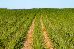 A hill sown with maize Stock Photo