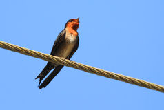 Hill Swallow Stock Photo