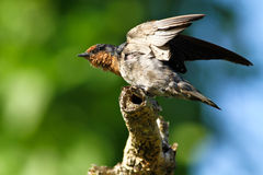Hill Swallow (Hirundo tahitica) series stock photos