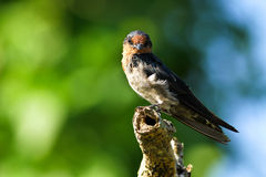 Hill Swallow (Hirundo tahitica) series IX Royalty Free Stock Images