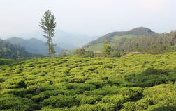 Hill tea estate Stock Photo