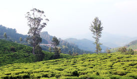Hill tea estate Stock Images
