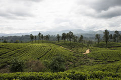 Hill and Tea plantations. Ella, Sri Lanka. Tea plantation fields on the green hills. Ella, Sri Lanka stock photo
