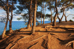 Hill Top Sunset by the Sea. Sunset by the sea, coastal trees with visible roots on hill top at Costa Brava, Lloret de Mar, Catalunya, Spain Royalty Free Stock Photo