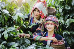 Coffee Plantation. Hill Tribe Coffee Plantation,Akha Woman Picking Red Coffee On Bouquet On Tree,Coffee Product Of Hill Tribes.Northern Thailand Royalty Free Stock Photos