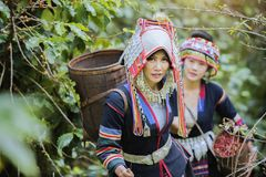 Coffee Plantation. Hill Tribe Coffee Plantation,Akha Woman Picking Red Coffee On Bouquet On Tree,Coffee Product Of Hill Tribes.Northern Thailand Royalty Free Stock Photography