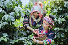 Coffee Plantation. Hill Tribe Coffee Plantation,Akha Woman Picking Red Coffee On Bouquet On Tree,Coffee Product Of Hill Tribes.Northern Thailand Royalty Free Stock Photo