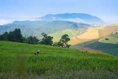 Hill tribe in green paddy rice field Stock Photos