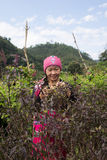 Hill tribe woman lifestyle. Hmong hill tribe woman in costume dress pickup basil leaves for food cooking stock photo