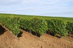 Hill vine plantation Royalty Free Stock Photo