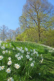 Hill with wild narcissus flowers and sprouting trees Royalty Free Stock Photo
