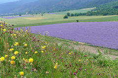 Hill with wildflowers and weeds amid the lavender field. Royalty Free Stock Photography