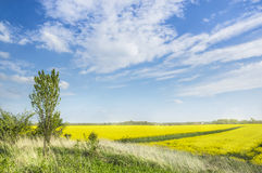 Hill with young poplar amid blooming rape fields and blue sky Royalty Free Stock Photography