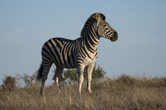 Hill Zebra Royalty Free Stock Photography