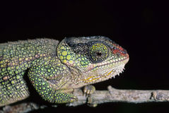 Hillenius'short-nosed chameleon. The Hillenius'short-nosed chameleon, Calumma hilleniusi, is a small,extremely colorfull chameleon species is confined to the Stock Photography